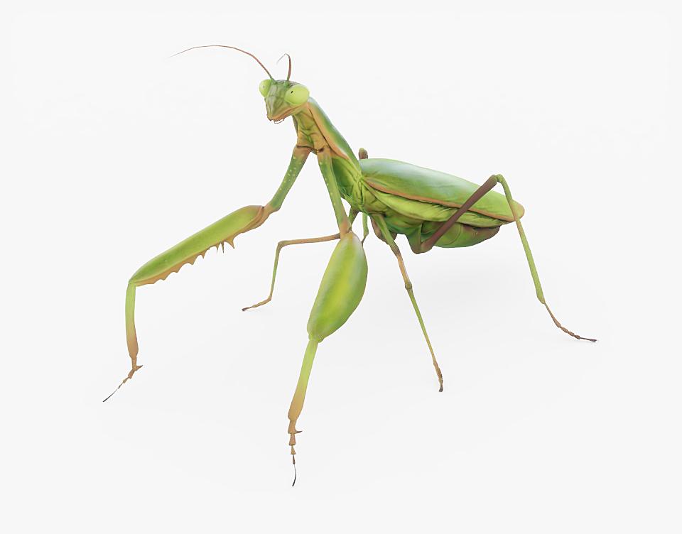 Praying Mantis Rigged - Blender MarketPraying Mantis Rigged ...